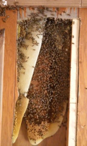 bees_in_trailer_wall_a_6_3_2016